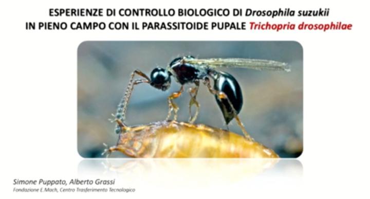 Parassitoide autoctono Trichopria drosophilae