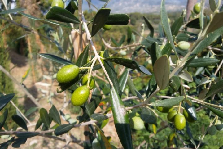 Gli infusi di foglie di olivo posseggono diverse proprietà medicamentose