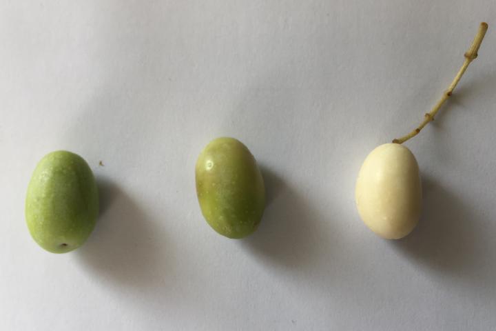 Cultivar Leucocarpa