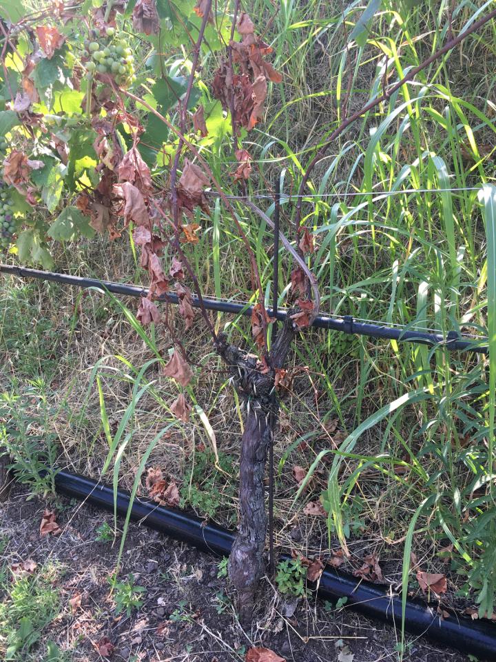 Una pianta affetta da mal dell'esca nella zona di Soave