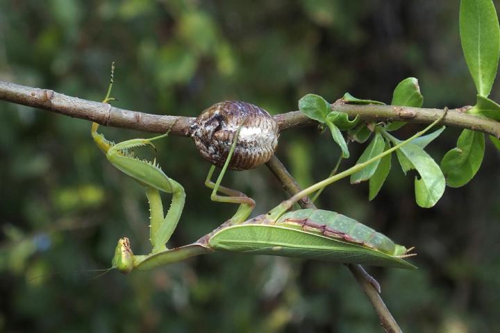 Un esemplare diHierodula tenuidentata con una ooteca