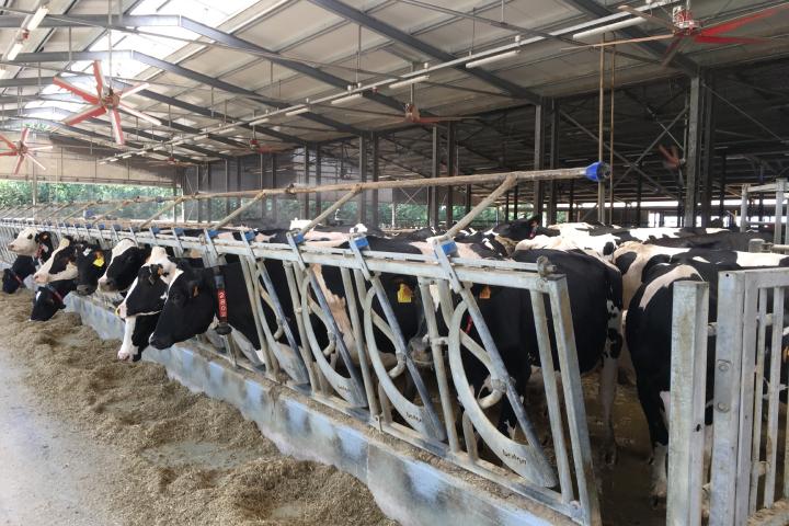 Nella stalla di Agrisfera sono presenti ventilatori e spruzzatori per il benessere animale