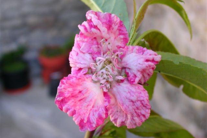 Danni da bolla su fiore di pesco