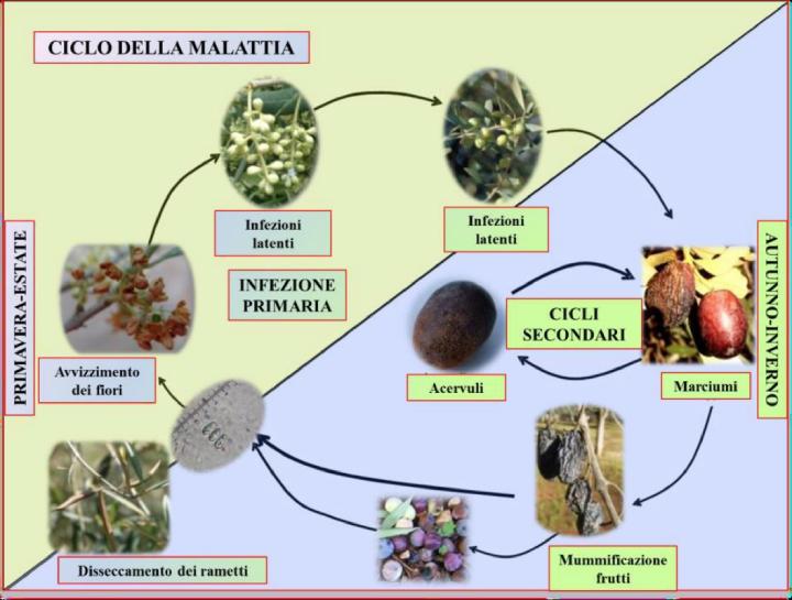 Il ciclo biologico di Colletotrichum gloeosporioides