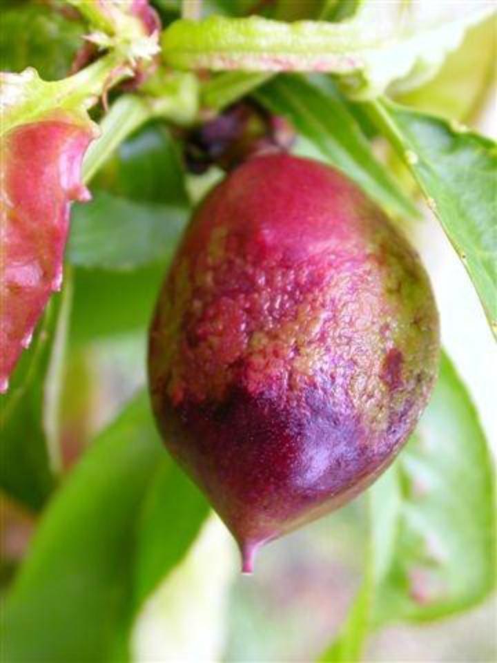 Danni da bolla su frutto di pesco
