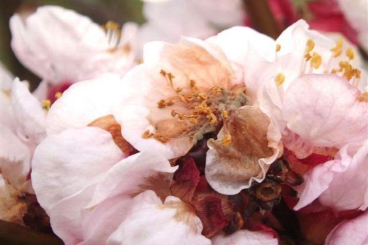 Danni da monilia su fiore