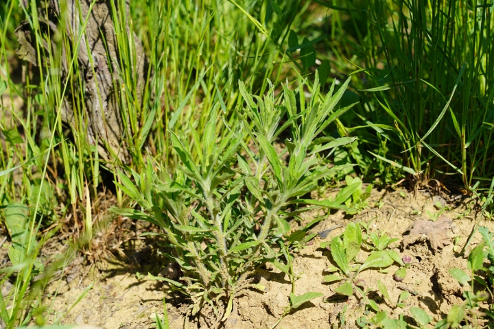 Erigeron canadensis può svilupparsi durante l'autunno e presentarsi con particolare vigore nella primavera dell'anno successivo