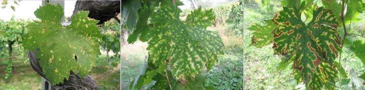 La progressione dei sintomi causati dalla malattia delle foglie striate della vite
