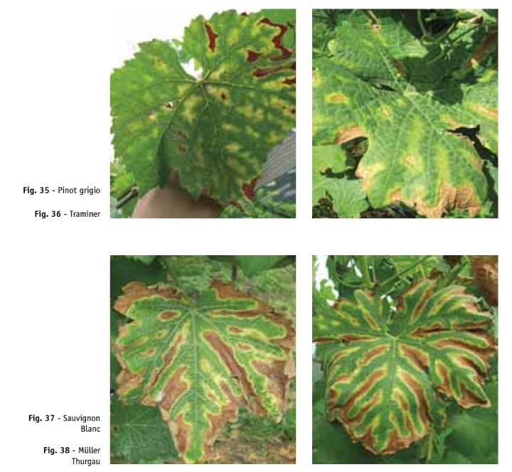 Sintomi di tigratura delle foglie su diverse varietà