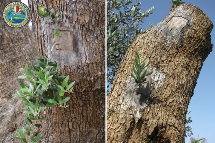 Due esempi di olivo innestato