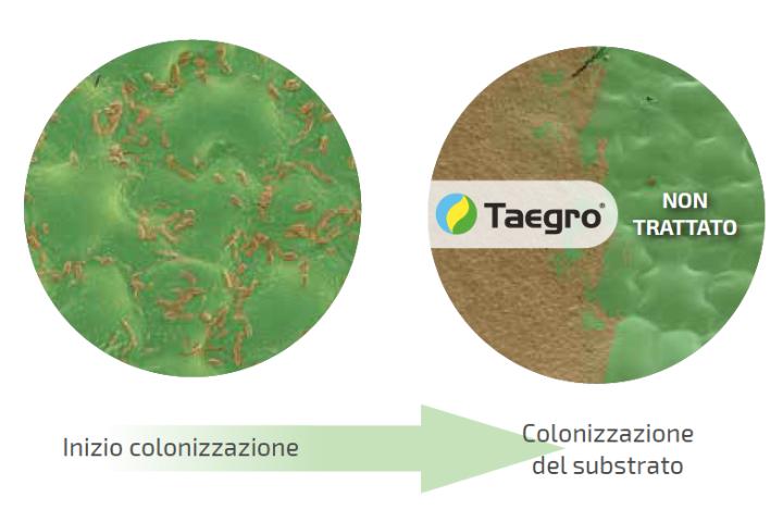 Taegro forma una barriera fisica nei confronti di altri microrganismi