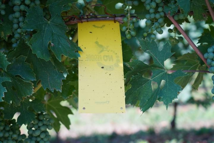 Le trappole cromotropiche sono impiegate per monitorare la presenza in vigneto di alcuni insetti