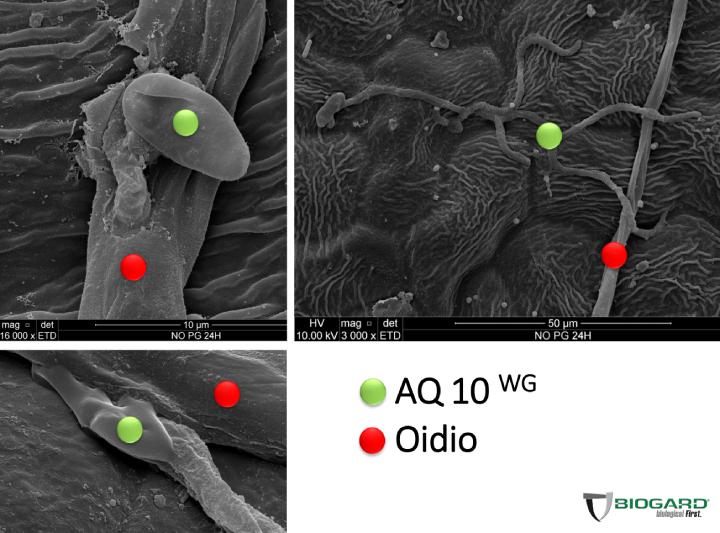Ampelomyces quisqualis è in grado di parassitizzare l'oidio della vite