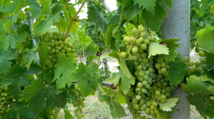 L'andamento climatico favorevole ha permesso una difesa efficace del grappolo anche con soluzioni esclusivamente di origine biologica