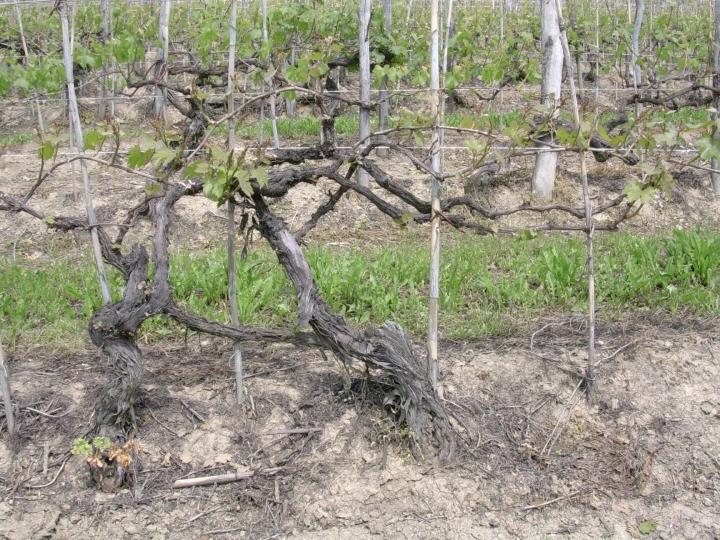 Una potatura 'tradizionale' che si trova ancora in vecchi areali viticoli delle Langhe e del Monferrato. Il fondamento di un così ricco legno vecchio è basato sulla scelta del capo a frutto che veniva fatta scegliendo come tralcio il ramo più bello e che aveva prodotto nell'anno precedente