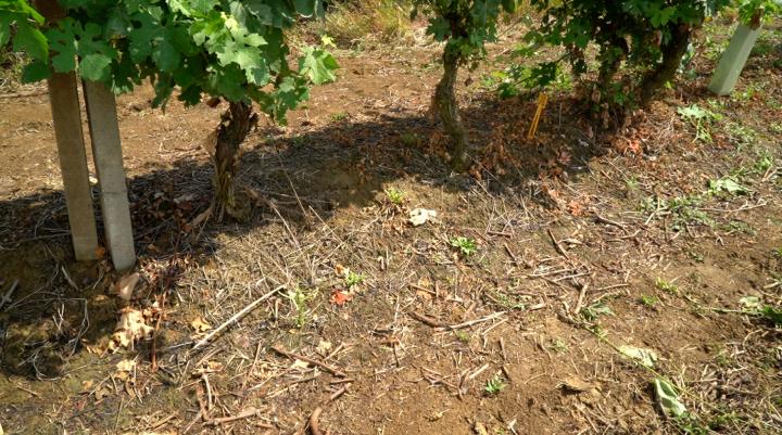 Un diserbo ottimale è stato garantito da flazasulfuron più carfentrazone in autunno e glifosate più quizalafop in primavera