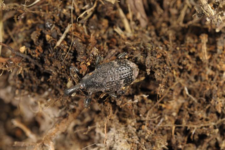 Un esemplare adulto di Aclees taiwanensis