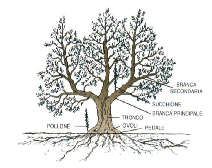 Schema di un olivo