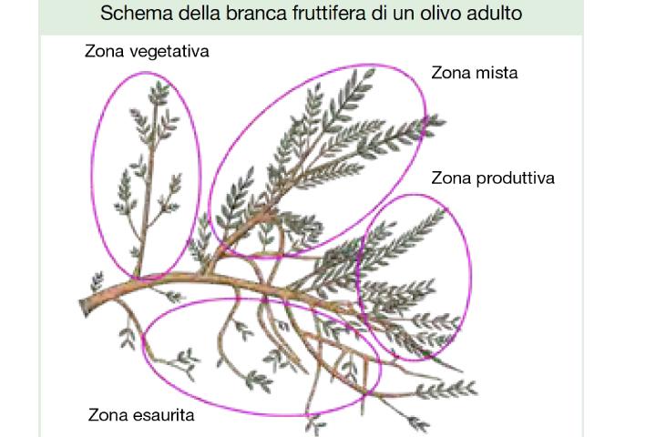 Schema della branca fruttifera di un olivo adulto