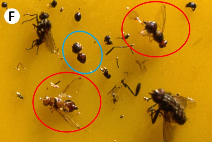 Femmine (cerchi rossi) e maschio privo di capo (cerchio azzurro) catturati sulla trappola cromotropica