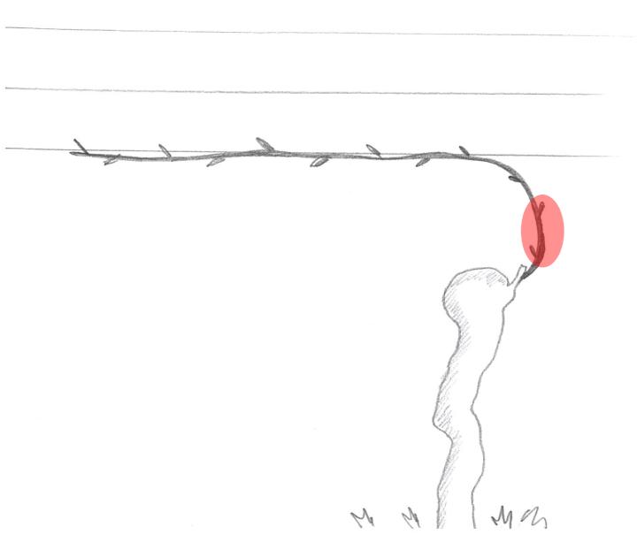 Le gemme prossimali devono essere mantenute sulle verticale del ceppo in modo da non occupare spazio sul fio di banchina