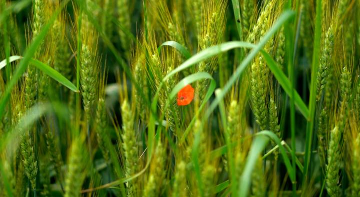 Tra le erbe infestanti presenti c'erano il papavero, l'avena selvatica, il Lolium e la camomilla