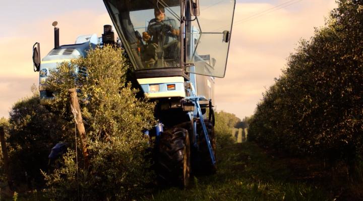 Le olive sono raccolte grazie ad una macchina scavallante New Holland