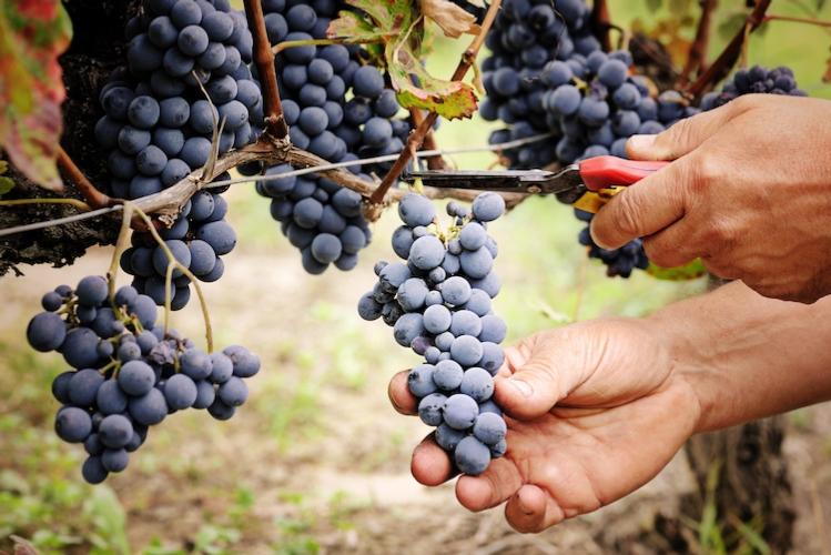 La concimazione autunnale e l'impatto sull'uva
