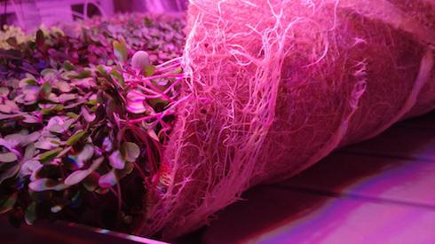 Le piante crescono in assenza di suolo