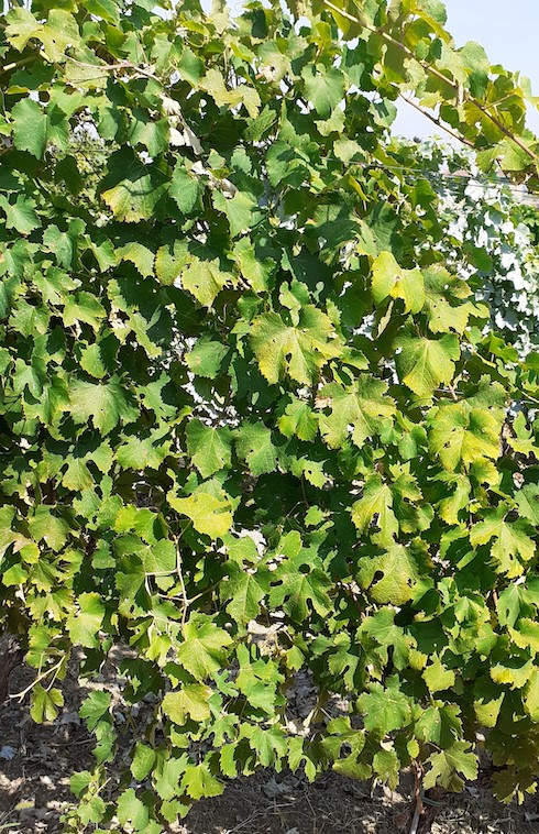 Foglie di Ortrugo con ingiallimenti causati da stress termici. Le foglie ombreggiate sono più verdi