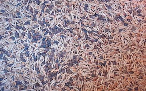 Particolare della semente del miscuglio Stratus