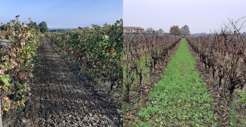 Interfilari di Barbera seminati a ottobre (sinistra) e situazione postemergenza a dicembre (destra), anno 2020presso Tenuta Pernice società agricola