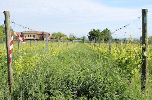 Inerbimento a prevalenza di leguminose (Stratus, Padana sementi elette Srl)
