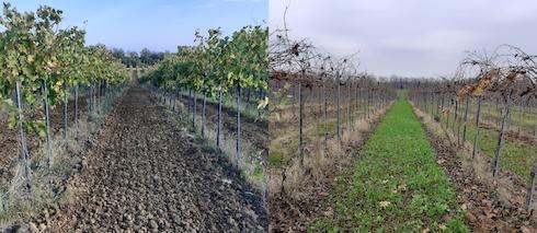 Interfilari di Ortrugo seminati a ottobre (sinistra) e situazione postemergenza a dicembre (destra), anno 2020presso Tenuta Pernice società agricola