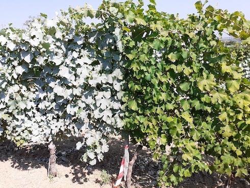Viti di Ortrugo trattate con caolino (sinistra) e non trattate (destra) presso i terreni di uno dei soci della cantina sociale di Vicobarone società cooperativa agricola, agosto 2020