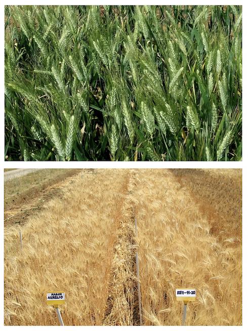 Allevamento in campo (azienda agraria dell'Università della Tuscia, Viterbo) di un triplo ricombinante di frumento duro a resa elevata, ottenuto tramite l'ingegneria cromosomica, in fase di maturazione precoce (in alto) e completa (in basso a destra)