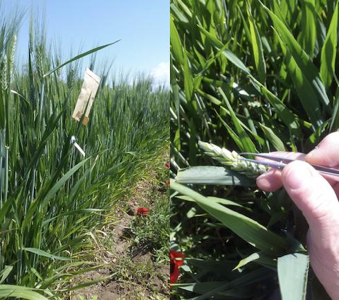 Incroci fra linee superiori per una coltivazione in regime organico
