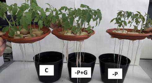 Piante di pomodoro al termine del periodo di allevamento (ventunogiorni) nelle tre diverse condizioni nutritive