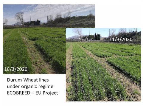 Valutazione di 27 accessioni di frumento duro in un esperimento a blocchi randomizzati a Viterbo nella stagione 2019-2020