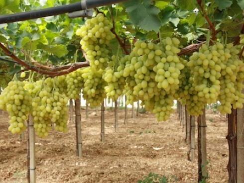 Uva da tavola in discussione il primato dell 39 italia - Piante uva da tavola ...