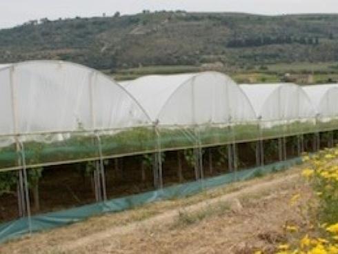 Coltivazione di uva da tavola in serra in regione Puglia