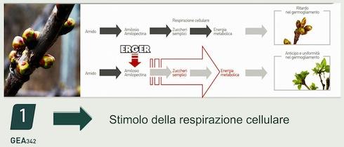 Erger e lo stimolo alla respirazione cellulare