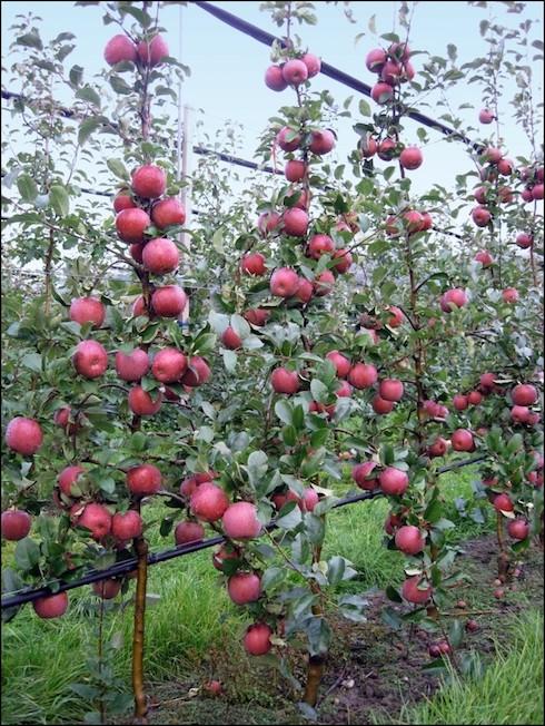 Nuovi cloni fuji una delizia di mele agronotizie - Mele fuji coltivazione ...