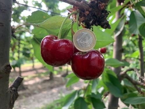 Fertard, varietà di ciliegie