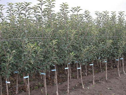 Vivaismo, piante certificate o astoni certificati pronti alla vendita