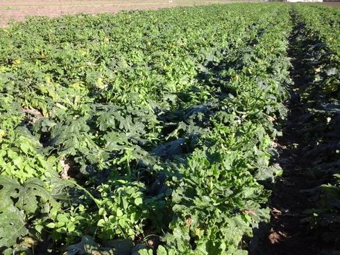ToLCNDV, New Delhi Virus sul zucchino: sintomi su pianta e foglie