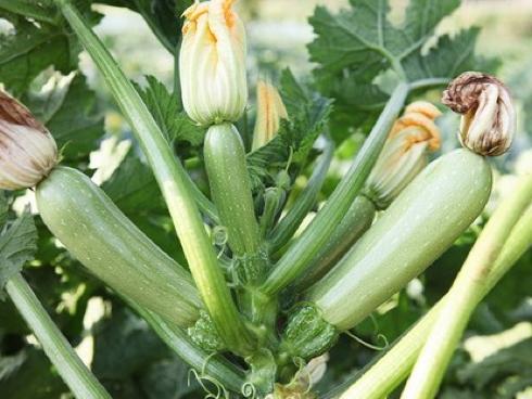 Zucchino bianco o chiaro varietà Cordelia di Syngenta