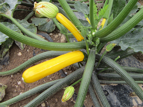 Zucchino giallo, una nuova tipologia in crescita ma che rimane comunque una nicchia