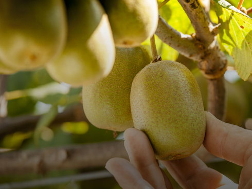 Kiwi giallo Jingold Jintao nuova varietà di actinidia