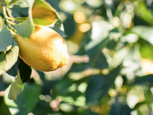 Frutto di limone calabrese del Consorzio limone Igp di Rocca Imperiale